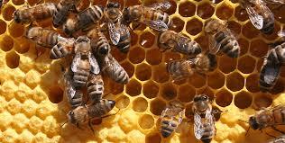 Bienen im Stock