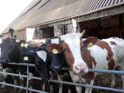 Kühe auf dem Höllnhof